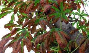 Болезни каштановых деревьев лечение