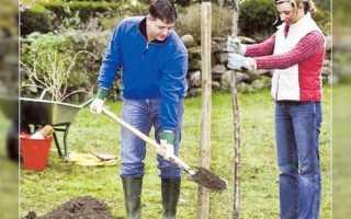 Посадка саженцев плодовых деревьев осенью