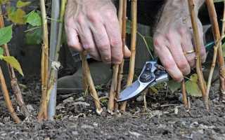 Можно ли обрезать ремонтантную малину весной