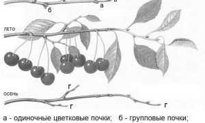 Формирование кроны вишни схема