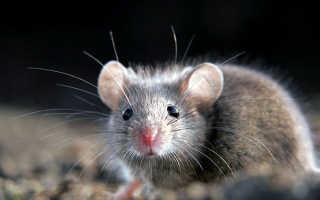 Как выгнать мышь из дома