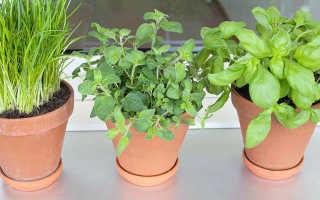 Как вырастить зелень на окне зимой