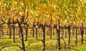 Обрезка заросшего винограда