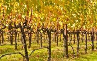Как обрезать старый куст винограда осенью