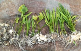 Как хранить луковицы каллы зимой