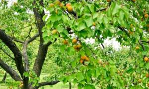 Как обрезать абрикос весной видео