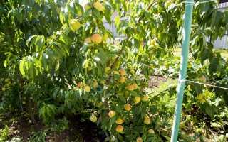 Персики в подмосковье выращивание