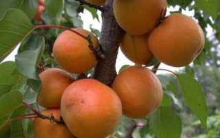 Как укрыть абрикос на зиму в подмосковье