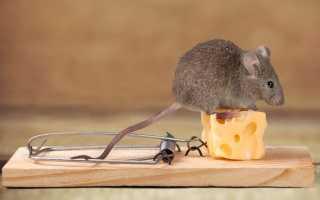 Способы борьбы с мышами в доме