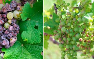 Чем болеет виноград и как лечить