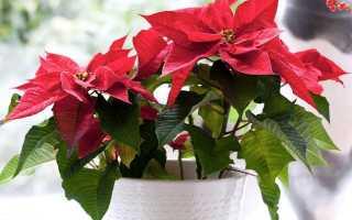 Комнатное растение с красными листьями название