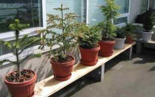 Хвойные растения для квартиры