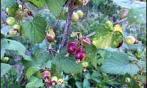 Выращивание черной смородины из черенков