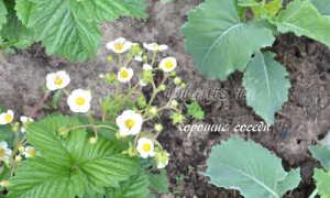 Смешанные посадки овощей схемы