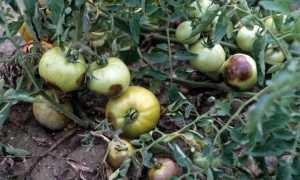 Обработка почвы от фитофторы осенью