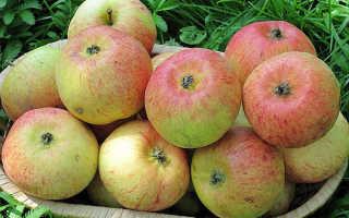 Яблоня карамелька описание фото