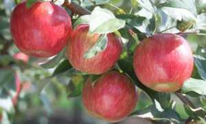 Схема посадки карликовых яблонь