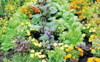 Совместные посадки огородных культур