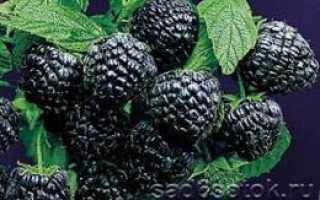 Черная ягода растет на дереве