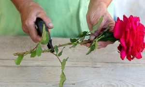 Как нарезать черенки роз из букета