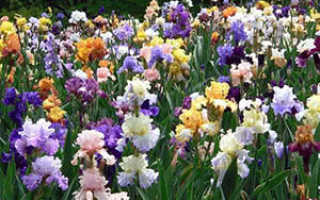 Когда цветут ирисы