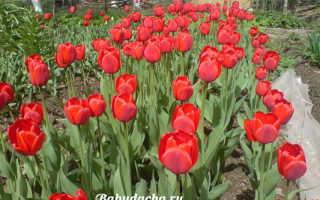 Чем обработать луковицы тюльпанов перед посадкой