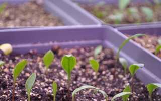 Лилии из семян посадка и уход