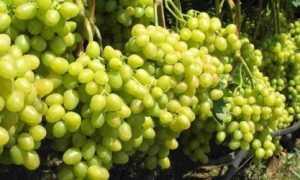 Как обрезать виноград летом от ненужных побегов
