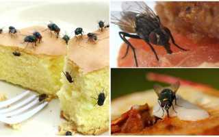 Чем питаются мухи в доме