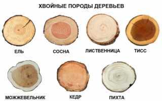 Хвойные растения примеры