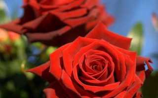Роза лавли ред фото и описание