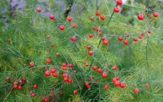 Как выращивать спаржу из семян