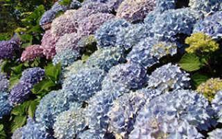 Гортензия садовая подготовка к зиме