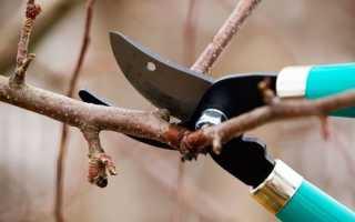 Как правильно обрезать абрикос осенью видео