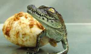 Разведение крокодилов как бизнес: видео