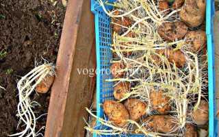 Посадка картофеля ростками