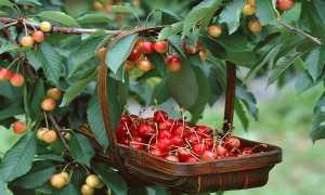Когда начинает плодоносить вишня после посадки