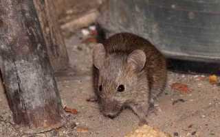Мыши в частном доме как избавиться