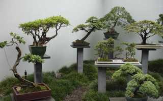 Банзай растение