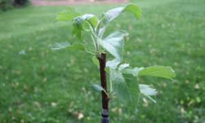 Когда сажать саженцы плодовых деревьев осенью
