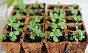 Посадка клубники из семян
