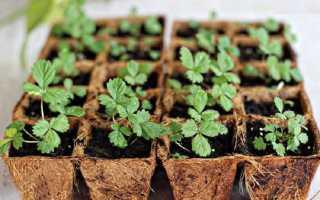 Клубника из семян выращивание дачные хитрости