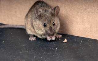 Чем отпугнуть мышей на даче