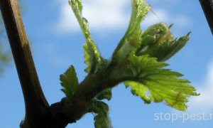 Биопрепараты для винограда