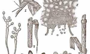 Ржавчина гриб