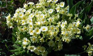 Примула садовая выращивание и уход