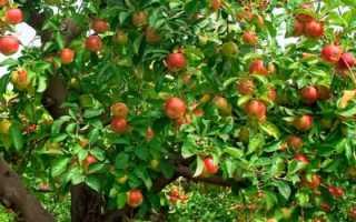 Почему не цветет яблоня 5 лет