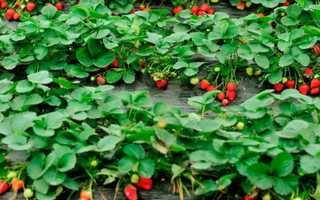 Варианты посадки клубники