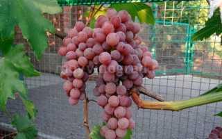 Виноград сентинел