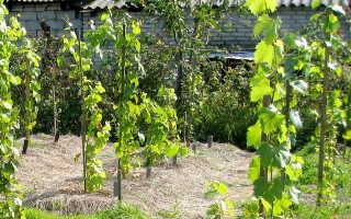 Размножение винограда зелеными черенками